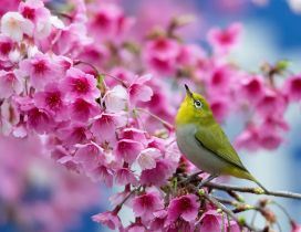 Beautiful green bird in a blossom tree - Pink flowers