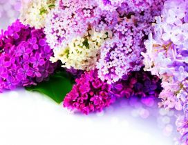 The most fragrant spring flowers - Coloruful Lilac