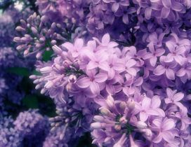 The most perfumed Spring flowers - Purple and pink Lilac