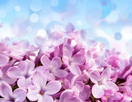 Wonderful macro pink Lilac flowers - Perfume Spring air