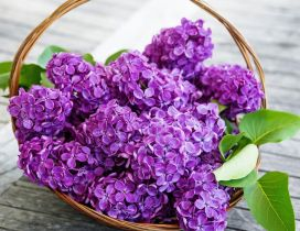 Purple Lilac flowers in a basket - Spring time season