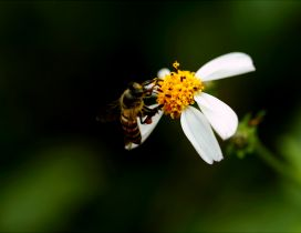Macro Spring wallpaper - Bee on a flower collecting pollen
