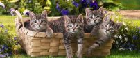 Four grey tiger cats in a basket - Sweet domestic animals