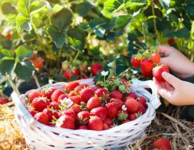 Sweet strawberries on a basket - Delicious summer fruits