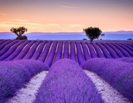 Big wonderful Lavender field - Love purple color and perfume