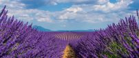 Country path in the middle of Lavender field -Purple perfume