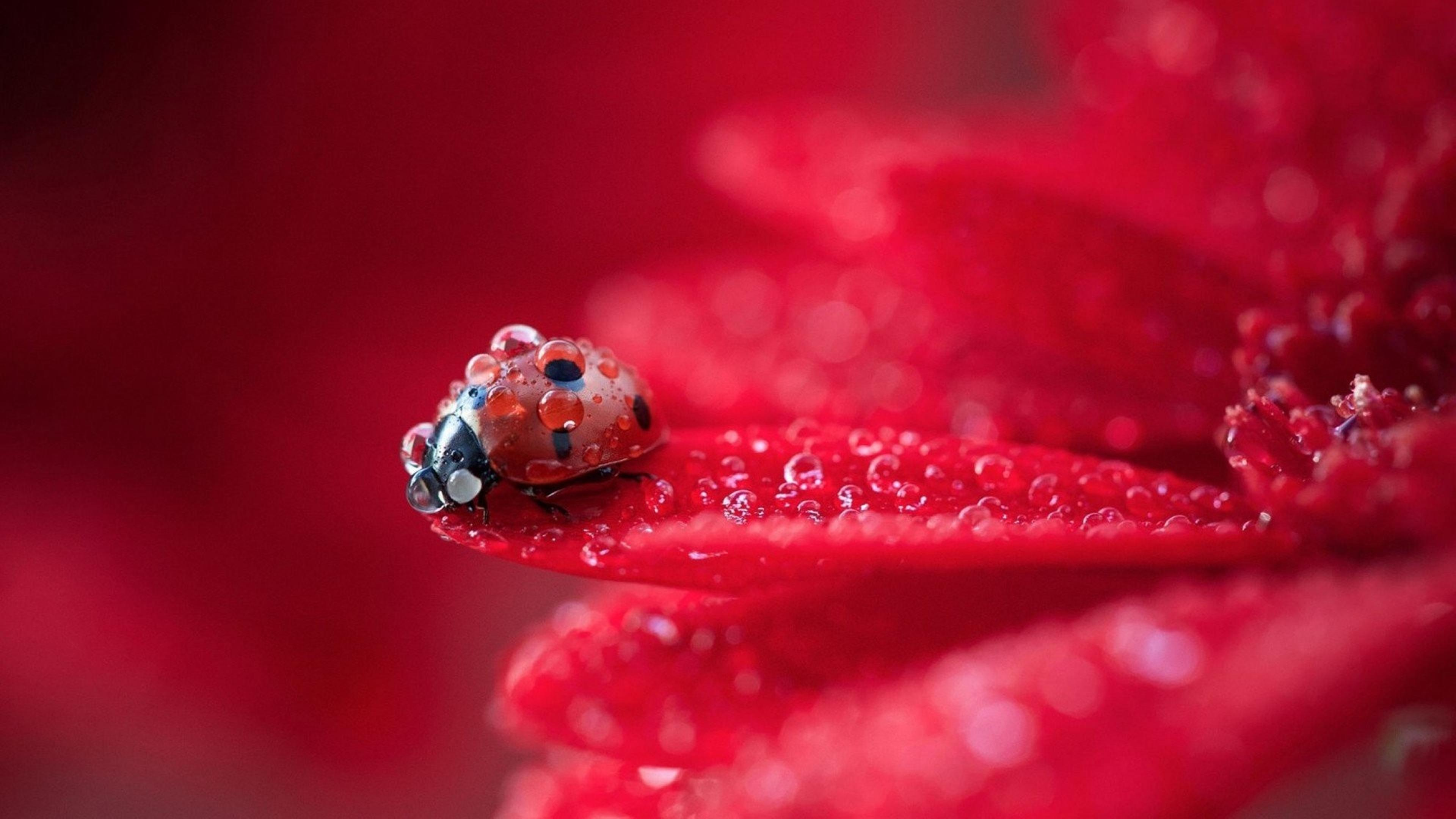 macro water drops on a little ladybug - hd wallpaper
