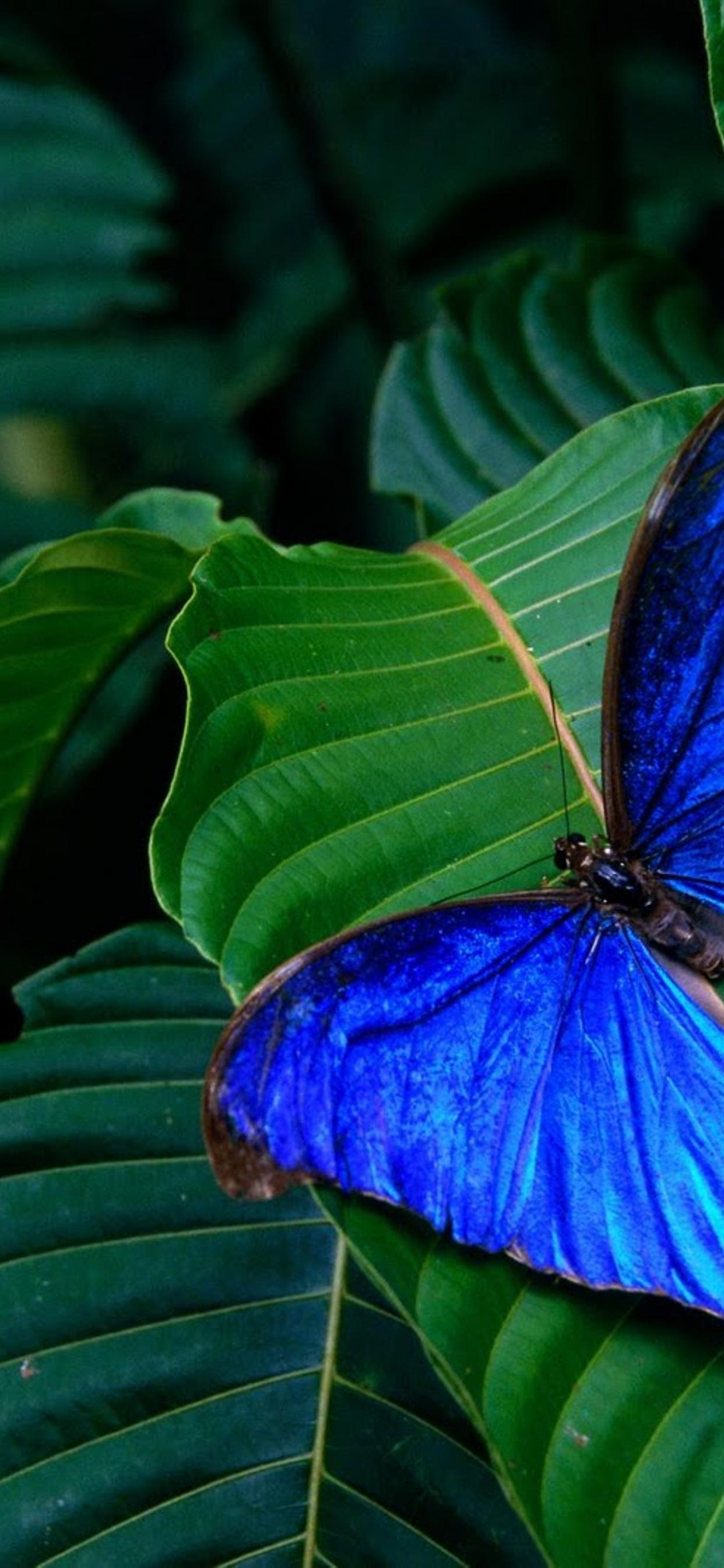Wonderful Blue Butterfly On A Green Leaf Macro Wallpaper