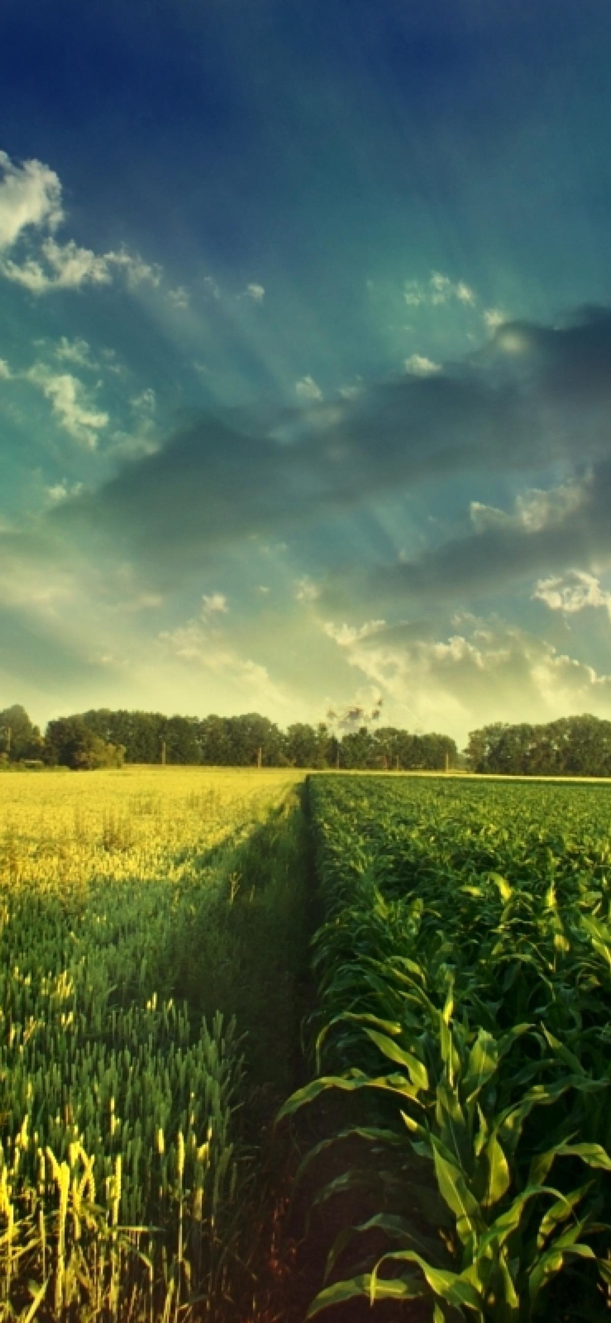 Wheat And Corn Field Wonderful Nature Wallpaper