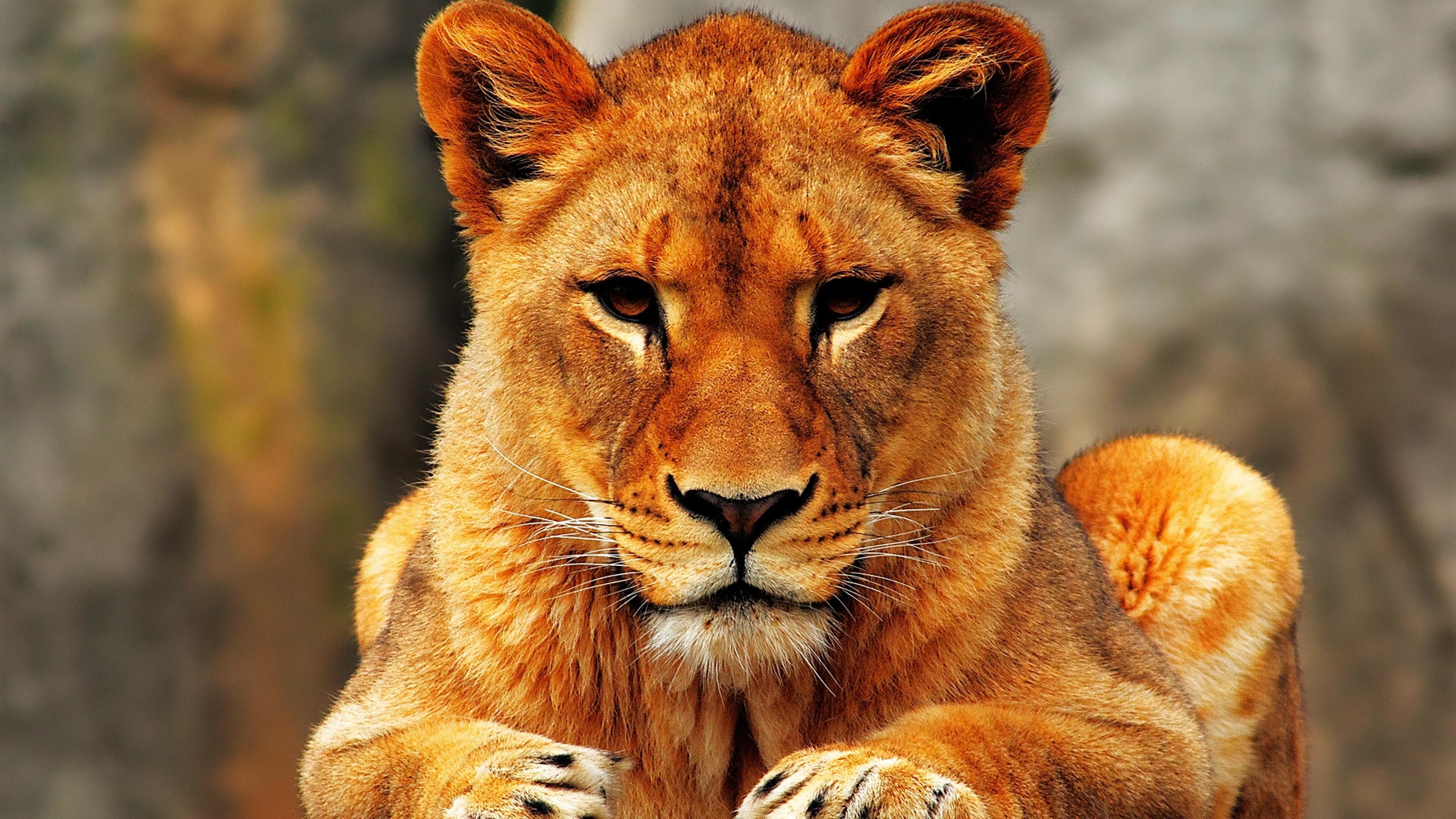 Seriously Lion Female Wild Animal Wallpaper