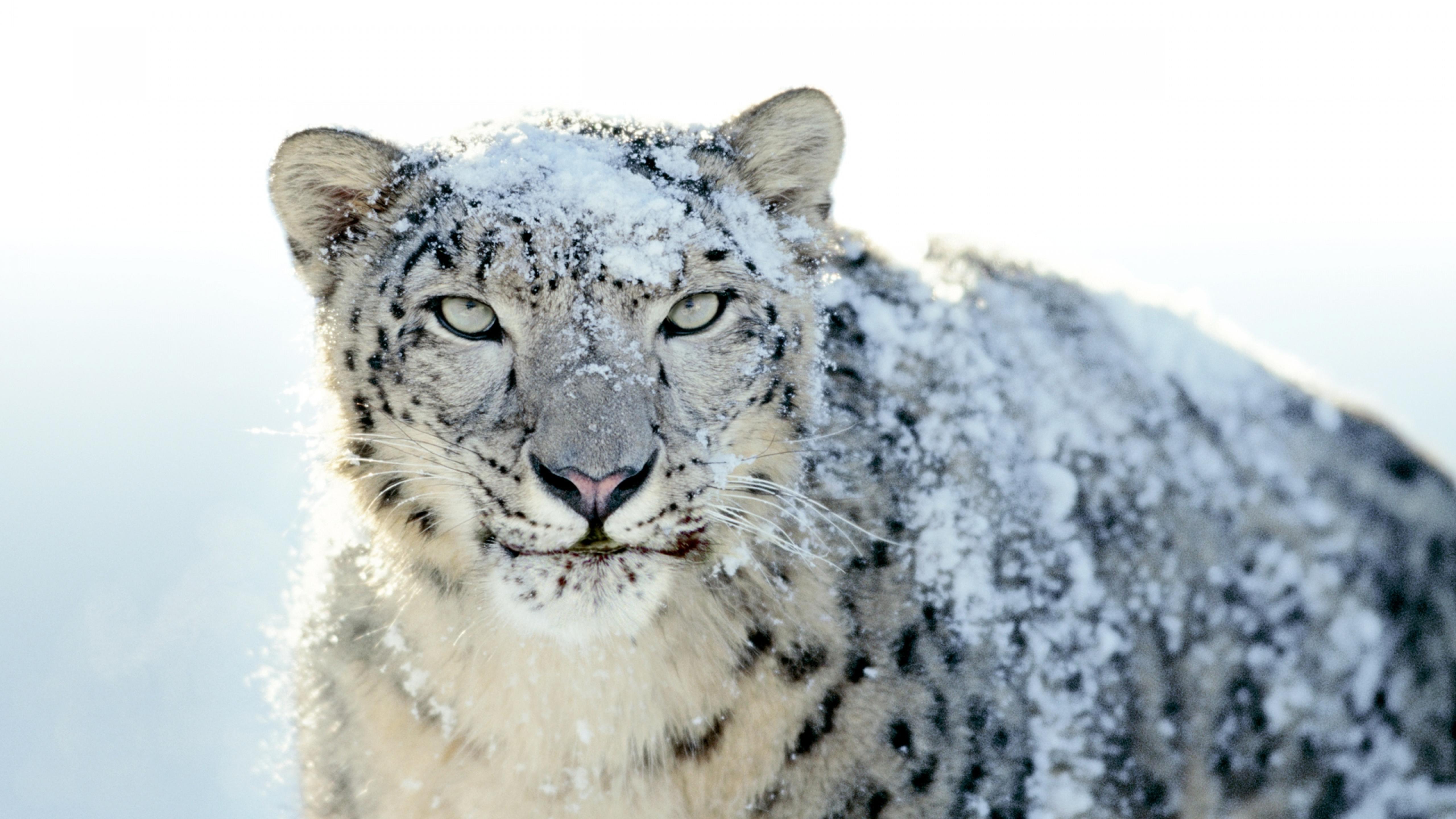Snow on a furious Siberian tiger - HD wallpaper